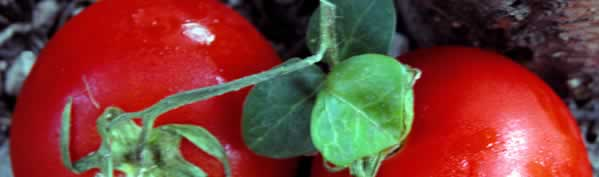 Preserve the Harvest - Diced Tomatoes